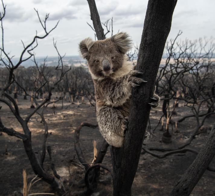 Koala in a burnt tree