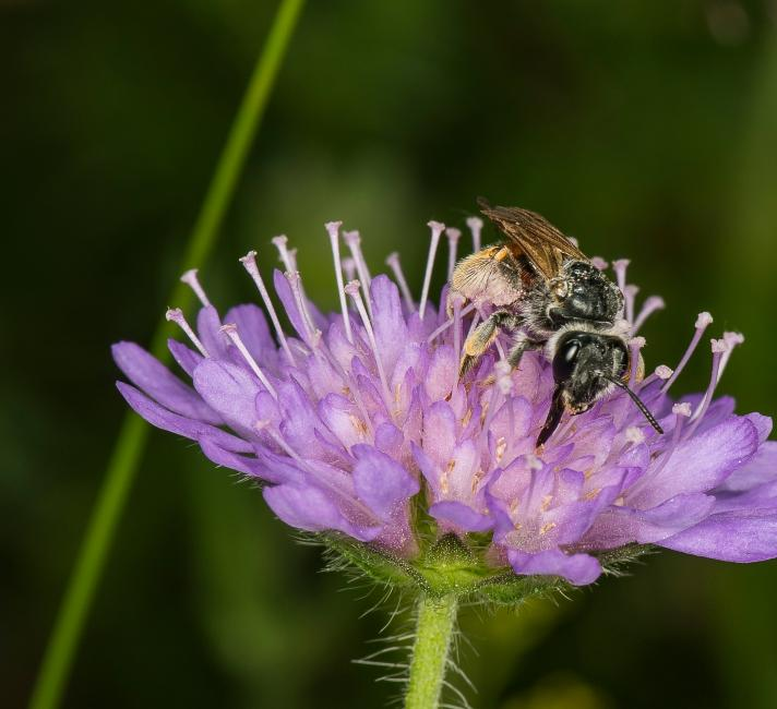 Large Scabious Mining-bee