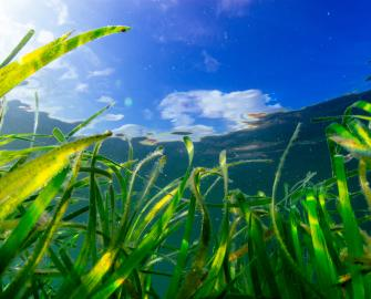 Seagrass, the wonder plant