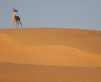 Mountain gazelle, Dubai