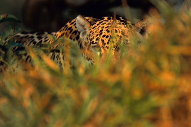 Historic Declaration To Protect Jaguars Read More