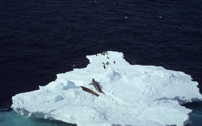 Lobodon carcinophagus & Pygoscelis adeliae Crabeater seal & Adelie penguin Several on an iceberg Antarctica