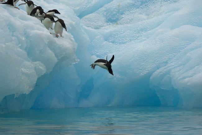 Adelie penguins (Pygoscelis adeliae) diving off iceberg, Antarctica, January