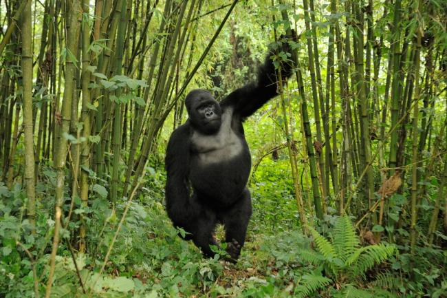 Mountain Gorilla (Gorilla beringei) silverback drunk on bamboo shoots Rwanda.Note - if gorillas eat an excess of bamboo shoots they can become intoxicated