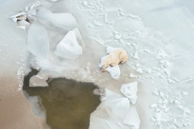 Polar bear waits by seal breathing hole