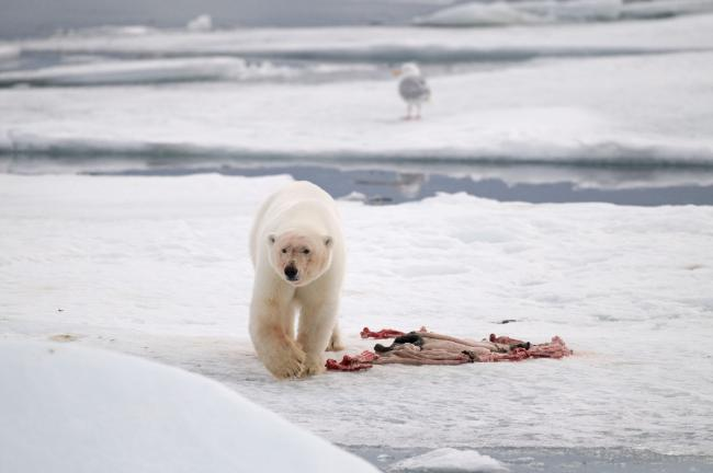 Polar bear hunt image