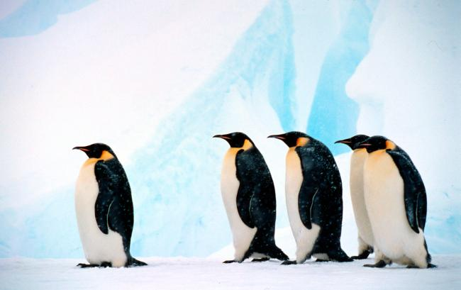 Emperor penguin Group against background of blue ice