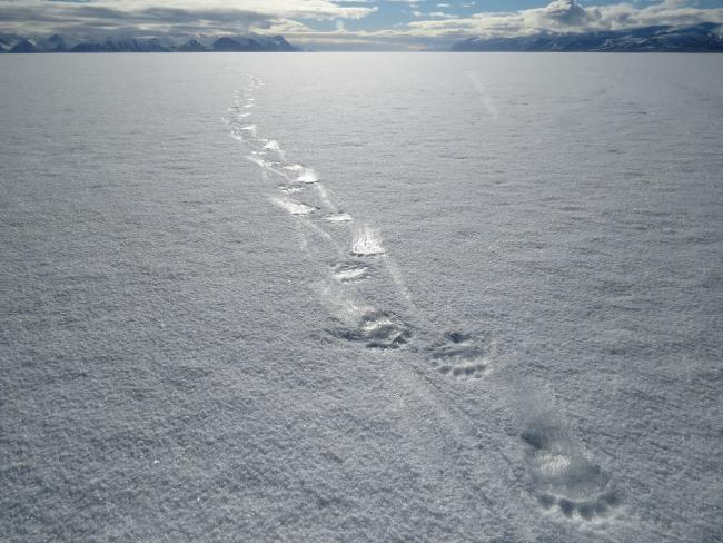 Polar bear footprints
