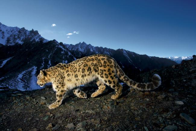 Snow leopard camera trap image, India