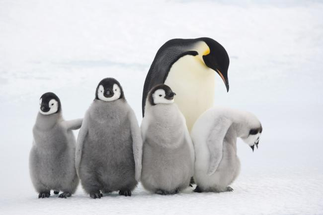 Emperor penguin adult and chicks