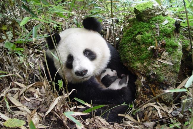Giant panda © WWF China / Yong Yange