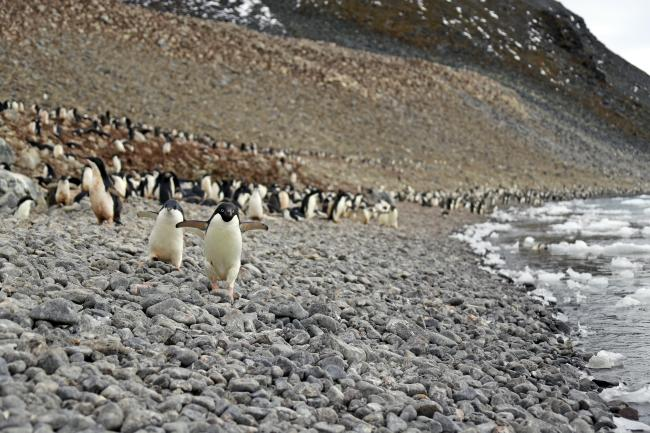 Adelie penguins on a rocky beach, Antarctic.