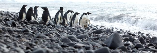 Adelie penguins standing on rocky coast, Antarctica.