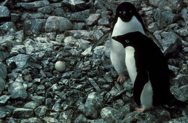 Adelie penguin pair with their egg in the nest