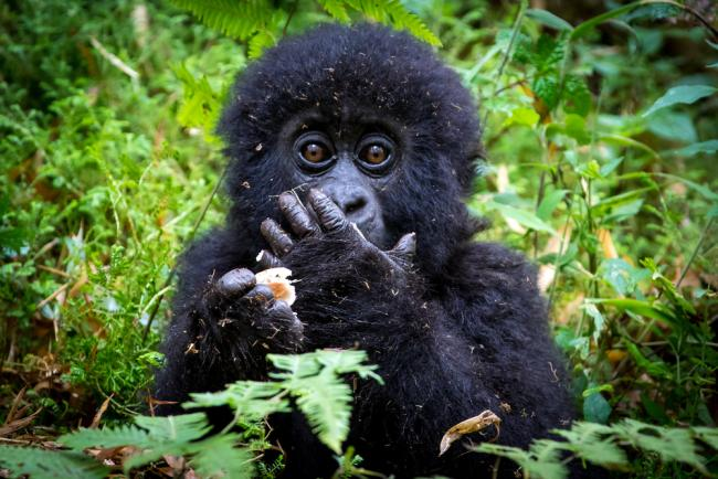 Baby gorilla eating