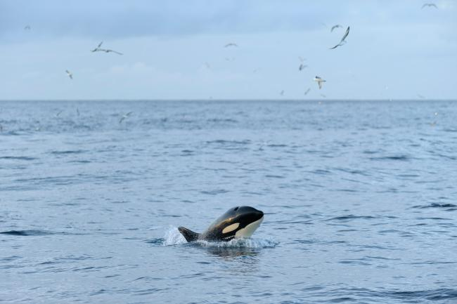 sea temperatures are having drastic impacts on Scottish ocean wildlife