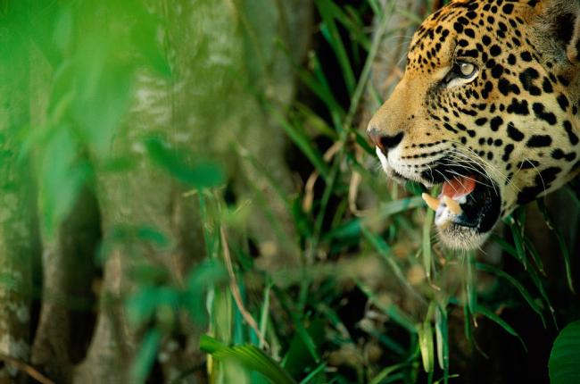 A Jaguar in Brazil