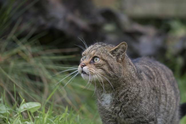 The wildcat is one of the UK's most endangered mammals