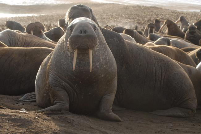 A Pacific walrus in the haul-out.