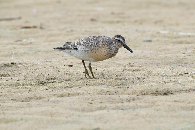 Red Knot juvenile, Tresco, Isles of Scilly