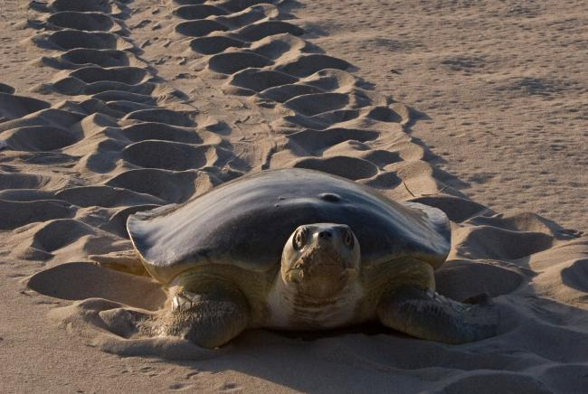 There are seven species of marine turtle