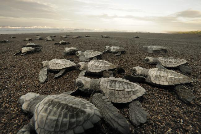 Olive ridley hatchlings emerge together and move towards the sea at dawn