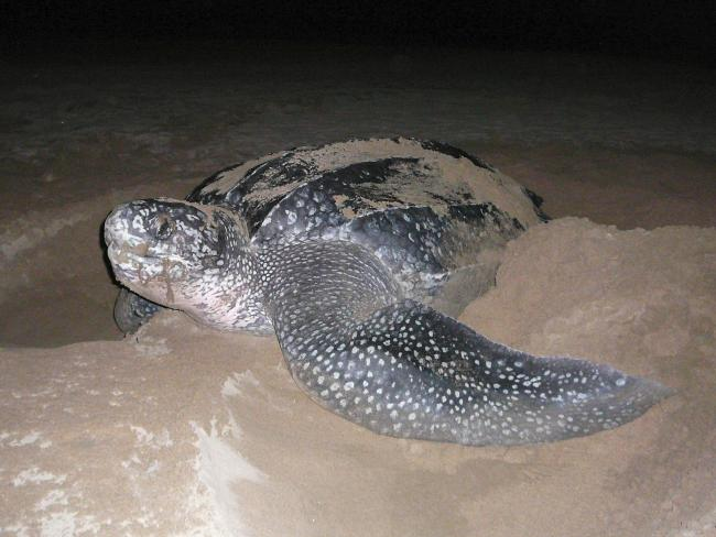 Female leatherback turtle at night, camouflaging her nest