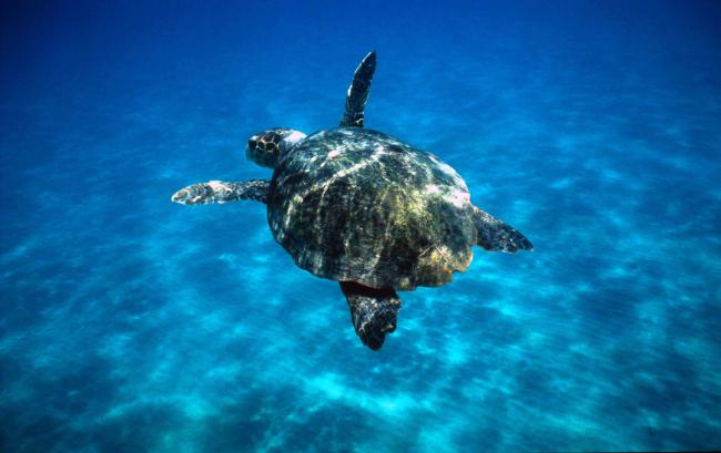 A loggerhead turtle, Greece