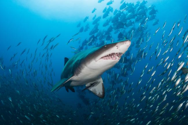 Sand tiger shark hunting