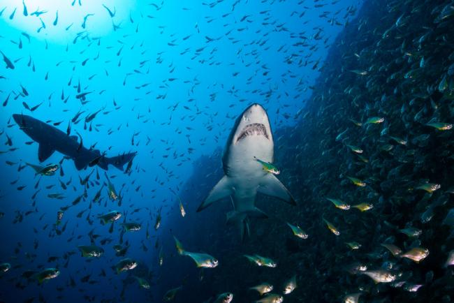 Sand tiger sharks hunting