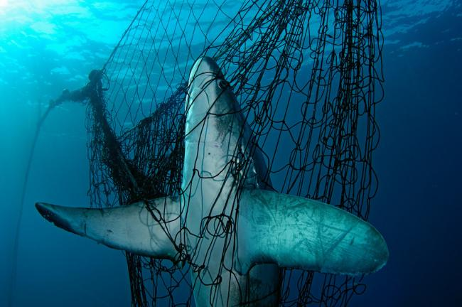 Thresher shark in net