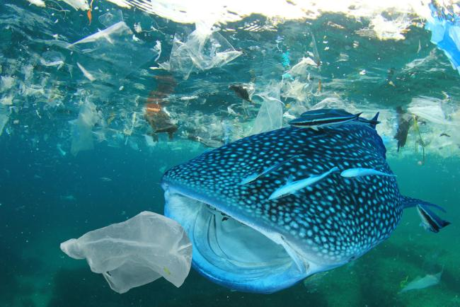 Whale shark, plastic ocean pollution