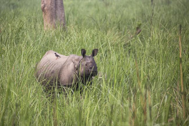 A greater one-horned rhino, Nepal