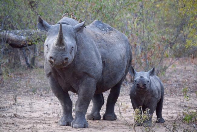 Black rhinoceros and calf, South Africa