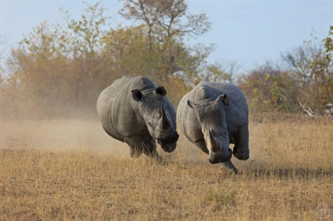 Two white rhinos running, South Africa