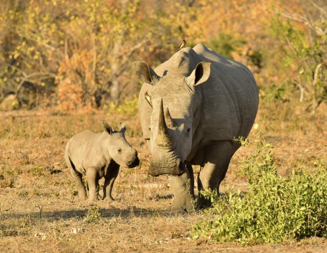 White rhino mother and calf, South Africa