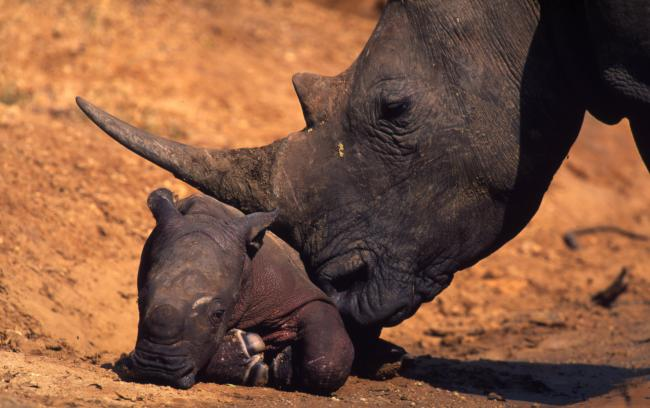 White rhino with newborn calf, South Africa