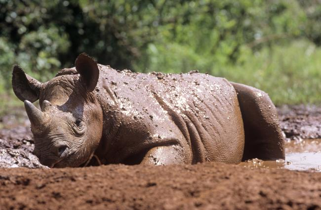 Young black rhino, Kenya
