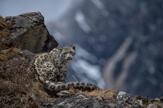 Snow leopard in Nepal