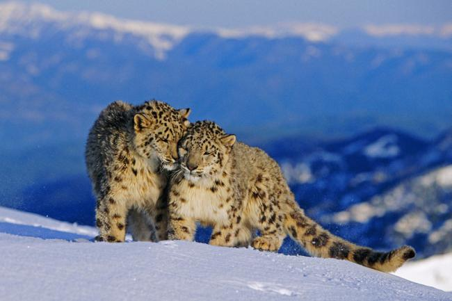 A pair of snow leopards