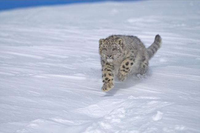 Snow Leopard Running through snow