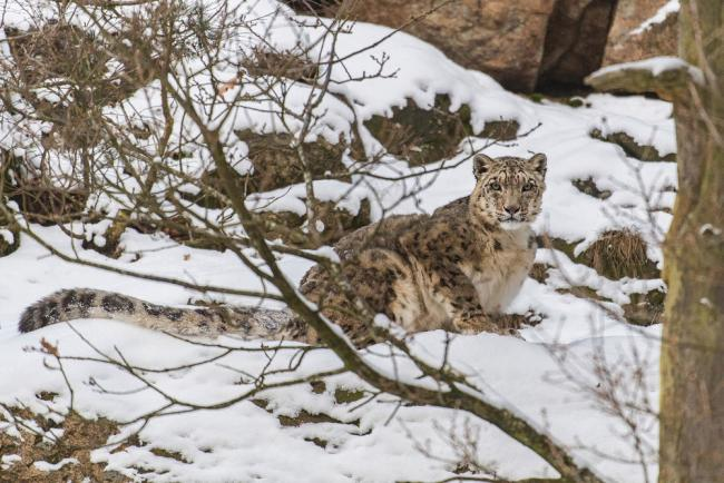 Snow leopard sitting in the snow