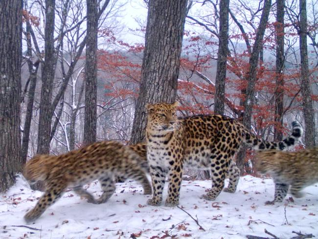 Amur leopard with cubs