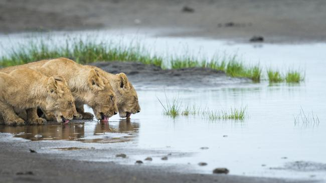 Lion cubs at water's edge