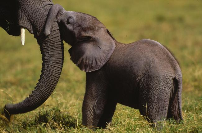 African elephant calf and its mother, Amboseli National Park, Kenya