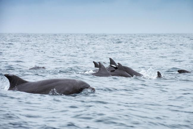 Dolphins swimming in Isola de la Plata, Ecuador.