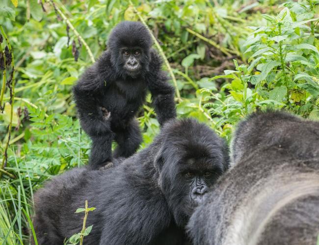 Mountain gorillas, Virunga National Park, Rwanda