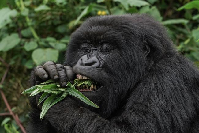 Mountain gorilla, Virunga Mountains, Rwanda