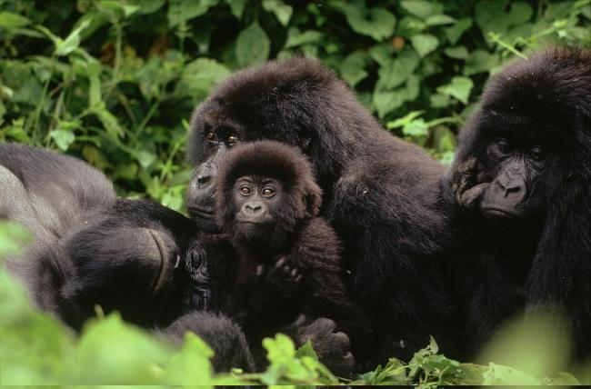 Mountain gorilla family resting, Virunga National Park, Democratic Republic of Congo