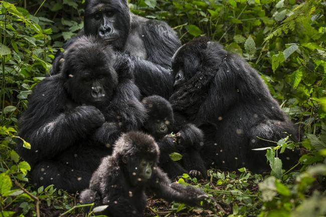 Bageni family, Virunga National Park, Democratic Republic of Congo
